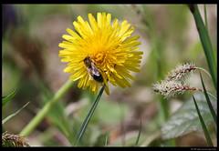 Bee (begumidast) Tags: flowers plants flower nature animal animals canon eos outdoor natur pflanzen blumen bee 7d blume biene bienen ef70300 eflens eos7d canoneos7d begumidast musictomyeyeslevel1