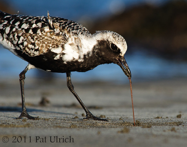 Plover pulling up a worm - Pat Ulrich Wildlife Photography