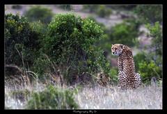 Furry Friday Part 3 (Grievous247) Tags: africa wild nature beautiful cat fur kenya wildlife sony safari bigcat mara cheetah alpha masaimara a700