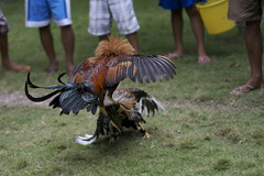 IMG_3786 (Hunter Mason1) Tags: chicken asia philippines bohol rooster cockfight pamilacan