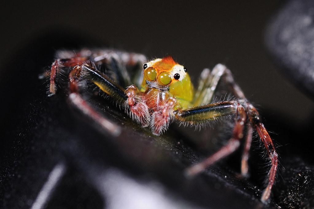 白斑艾普蛛(雄) Epeus alboguttatus