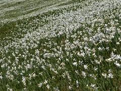 Morje narcis / See of daffodils (Damijan P.) Tags: mountains hiking slovenia gore daffodil slovenija narcissus jesenice karavanke narcise hribi golica prosenak