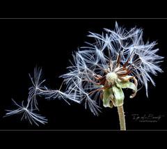 Eye of Beauty (Faisal | Photography) Tags: white black flower macro nature canon studio soft flash dandelion pusteblume 50d canonef100mmf28macro canoneos50d ex580ii faisal|photography فيصلالعلي
