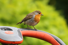 Mowing the lawn! (Mukumbura) Tags: england orange green bird nature robin birds garden fun outdoors handle grey wings eyes funny erithacusrubecula gardening wildlife birding lawn beak feathers somerset aves help ave controls lawnmower laughter ornithology birdwatching shrubs oiseau assistant oiseaux mowing redbreast helper flymo