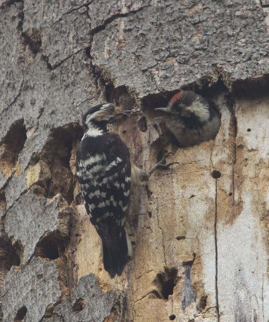 lesser spotted woodpecker chick being fed by female best