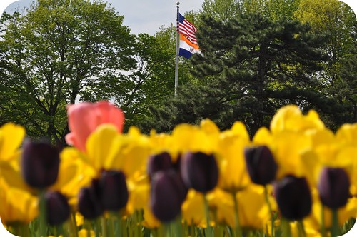 Albany Flags Tulips