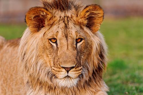 フリー写真素材, 動物, 哺乳類, ライオン,