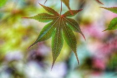 Changing color (JPShen) Tags: maple one bokeh