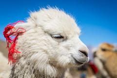 alpaca (_perSona_) Tags: peru alpaca camelid camelido reserva nacional salinas y aguada blanca