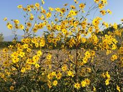 Φθινόπωρο (i.kouts) Tags: πέλλα ελλάδα μακεδονία φθινόπωρο κίτρινο λουλούδια pella greece macedonia autumn yellow flowers