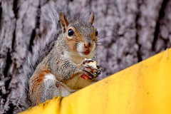 Herman (bmasdeu) Tags: squirrel theif eating steal character cute homegrown