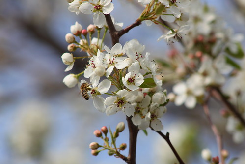 Bradford Pear and Bee