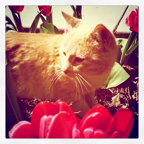 Kitty in the Tulips