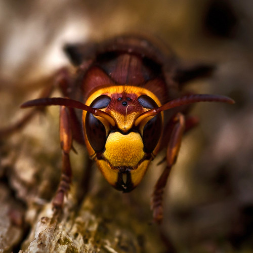 [フリー画像] 動物, 昆虫, 蜂・ハチ, スズメバチ, 201103290500