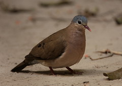Turtur afer-Blue-spotted Wood Dove (Aviantic) Tags: bluespottedwooddove abukoforest