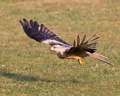 Gotcha !!! (Andrew Haynes Wildlife Images) Tags: bird nature wales wildlife redkite rhayader gigrinfarm canon7d ajh2008