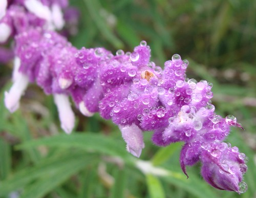 rain on lavender flowers