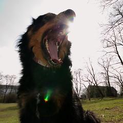 20110401_1307 (tramani_sagrens) Tags: dog backlight yawn hund mde tired gegenlicht ghnen