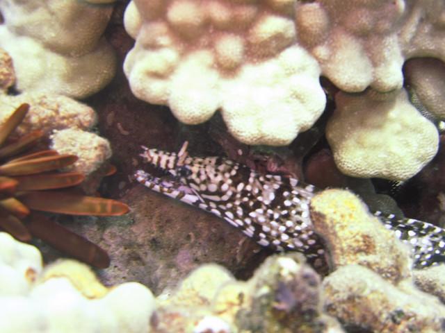 Dragon Moray Eel, Koloa Landing, Poipu, Kauai