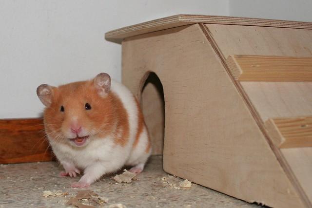 Naurava hamsteri