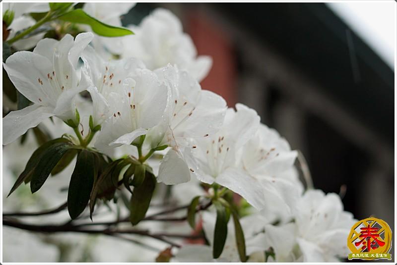 2011-03-26-台大杜鵑花 (12)