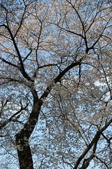 天に向かう桜