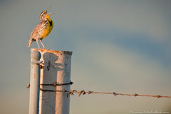 Singing Western Meadowlark (Julie Lubick) Tags: blue wild summer west male green bird nature ecology beautiful animal yellow horizontal fence mouth evening spring wire montana call solitude mt open singing post outdoor song wildlife small beak feathers scenic feather tiny breeding sing western barbedwire perch environment serene wilderness calling behavior habitat barbwire ornithology tranquil avian nationalbisonrange songbird vocal meadowlark plumage courtship westernmeadowlark perchingbird neglecta sturnella