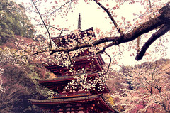 the garland (color version) (y2-hiro) Tags: pink tower colors japan cherry temple spring nikon blossoms nara d300