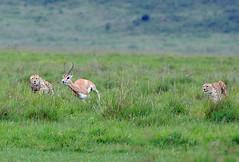 Cheetahs & Gazelle 2/5