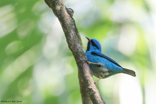 Saí-azul  (Dacnis cayana)  -  Blue Dacnis