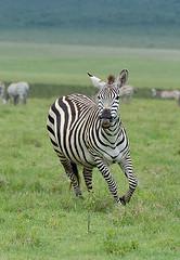 Ngorogoro Zebra