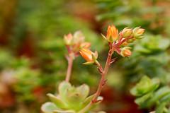 Succulent (ddsnet) Tags: plant succulent sony hsinchu taiwan  900     sinpu hsinpu   900     900