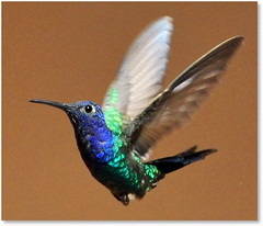 Codinome, Beija-flor (2)... / Codename, Hummingbird (2)... (Marina Linhares) Tags: bird nature freedom hummingbird natureza liberdade pssaro beijaflor voar codename tofly cazuza codinome doublyniceshot tripleniceshot mygearandme mygearandmepremium mygearandmebronze esenciadelanaturaleza dblringexcellence