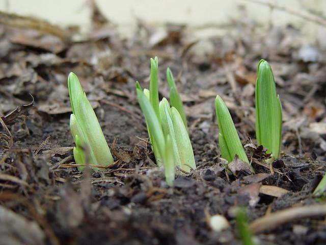 lily buds 1