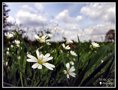 Addersmeat (Stellaria holostea) (Makani_Photography) Tags: flower macro nature field closeup clouds landscape spring dof belgium meadow natuur lente bloemen limburg stellaria lummen fieldflower makani grotemuur holostea veldbloemen addersmeat canonpowershotsx1is makaniphotography