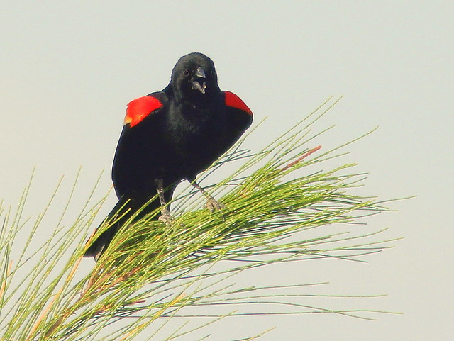 Red-winged Blackbird 20110414