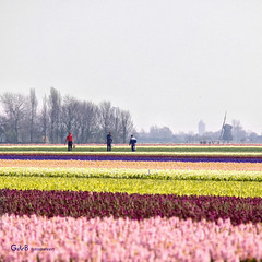 colors (gerrit de boorder) Tags: hyacinthus hyacint breezand bloembollenveld april2011 gdebfotografeert mygearandme mygearandmepremium mygearandmebronze