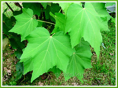 Deeply lobed foliage (maple-like leaves) of Hibiscus mutabilis (Confederate Rose, Cotton Rose)