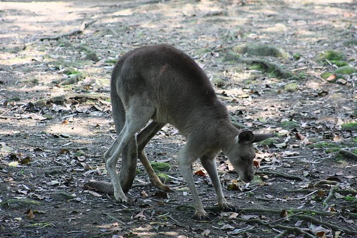 木柵動物園(紅頸袋鼠)053