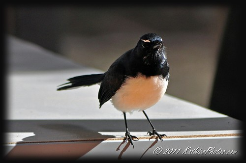 Willy Wagtail at Viv & Rod's