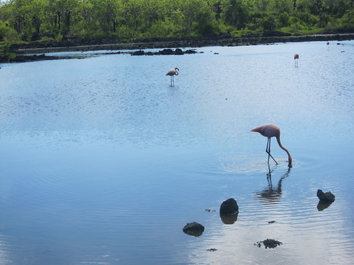 Flamingos Eating