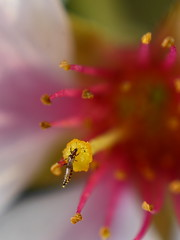 Sweetness To Attract (jomak14) Tags: macro canon spring blossoms stamen cherryblossom blogged stigma 580ex anthers speedlite kenko 2011 pollinator reversemountedlens extensiontubes eos30d macromondays extensiontubesusers smcpk55mmf20 pentaxm55mmf2 bowenreversemountingadapter manualmodeat1128thpower nectaringinsect