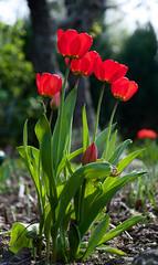 Tulpen (Marc Godorr) Tags: rot blumen marc blume garten frühling tulpen frühjahr 2011 godorr
