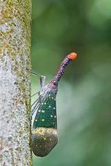 Pyrops pyrorhynchus IMG_0609 copy (Kurt (OrionHerpAdventure.com)) Tags: lanternbug lanternfly orionmystery upclosewithnature laternariaruhli pyropspyrorhyncha pyrorhynchus pyropspyrorhynchus
