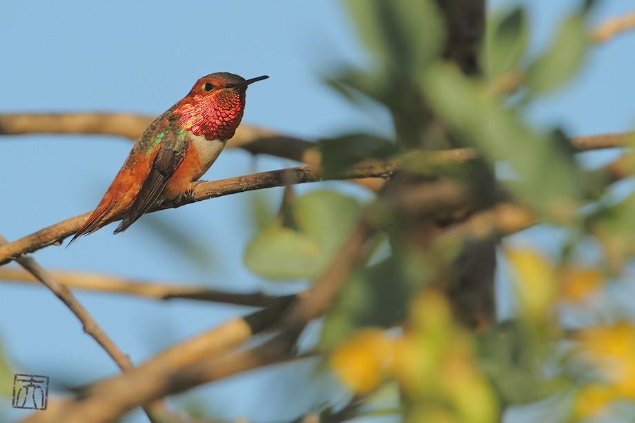 Allen's Hummingbird 042011-3