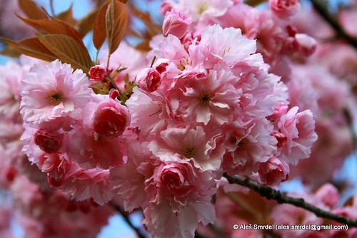 Japanese cherry tree in bloom