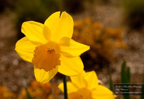 04-20-2011_springdaffodil_rs