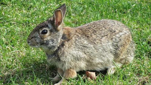 NU Rabbit