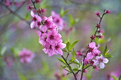 Blossoms In Pink And Red (aeschylus18917) Tags: flowers flower macro tree nature japan season spring nikon seasons blossom bokeh blossoms peach bloom  saitama fading  ephemeral pxt evanescent transience  peachblossoms koma  105mm   105mmf28   amygdalus prunuspersica 105mmf28gvrmicro saitamaprefecture d700 nikkor105mmf28gvrmicro   danielruyle aeschylus18917 danruyle druyle amygdaluspersica    hann hanapeach