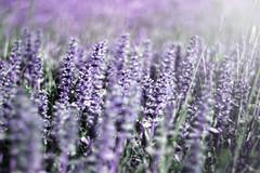 Fake Lavendel (Stefan Binder Fotografie) Tags: schnee winter snow ast purple bokeh sommer natur lila tau makro morgen farn frhling reif lavendel morgengrauen